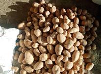 فروش سیب زمینی بذری  اگریا  در شیپور-عکس کوچک