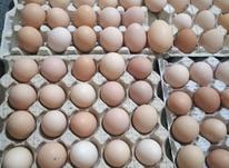 تخم مرغ محلی  در شیپور-عکس کوچک