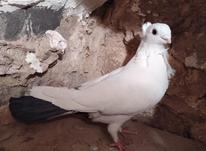 کفتر کبوتر در شیپور-عکس کوچک