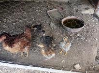 مرغ محلی جوجه دار در شیپور-عکس کوچک