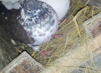 کبوتر ماده مست در شیپور-عکس کوچک