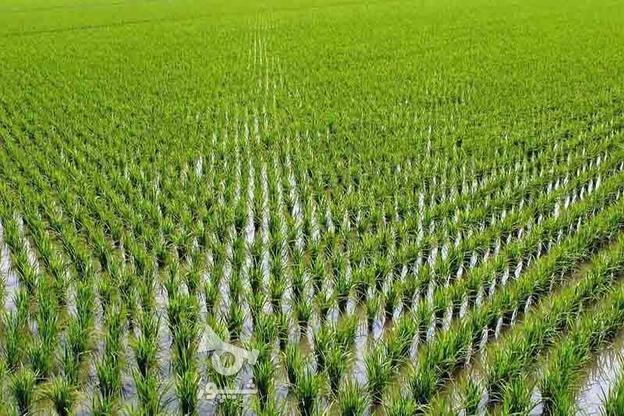 زمین کشاورزی 14000 متر در جاده واسکس آمل در گروه خرید و فروش املاک در مازندران در شیپور-عکس1