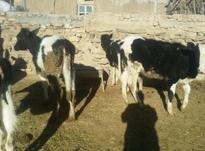 گوساله ماده هلشتاین در شیپور-عکس کوچک