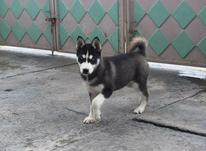 سگ هاسکی اصیل.... در شیپور-عکس کوچک