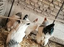 تخم نطفه دار مرغ خروس کوشین و برهما در شیپور-عکس کوچک