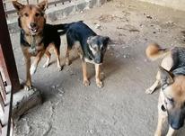 معاوضه سگ ژرمن در شیپور-عکس کوچک