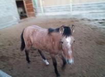 اسب یک ساله  در شیپور-عکس کوچک