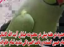 طوطی سبز رنگ اسمش ملیکا سخنگو گمشده در شیپور-عکس کوچک