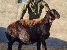 گوسفند قزل افشار در شیپور