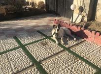 سگ ماده افغان والابای در شیپور-عکس کوچک