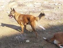 سگ ژرمن گمشده در شیپور