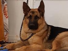 سگ ژرمن شپرد نر گمشده در شیپور