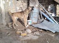 سگ.. گله..  در شیپور-عکس کوچک