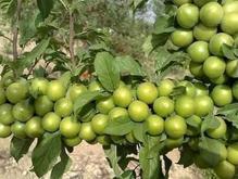 خدمات کشاورزی حسین طهماسبی در شیپور