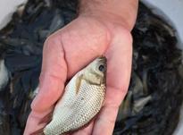بچه ماهی بصورت عمده در شیپور-عکس کوچک
