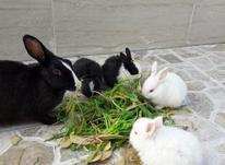 خرگوش فروشی  در شیپور-عکس کوچک