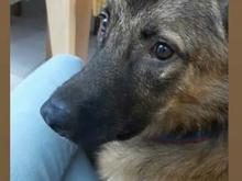 سگ گمشده مژدگانی ب قیمت سگ در شیپور