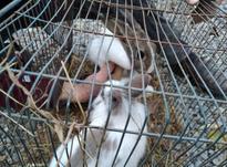 خرگوش نر و ماده سرحال  در شیپور-عکس کوچک