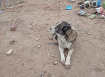 سگ برایه گوسفند  در شیپور-عکس کوچک