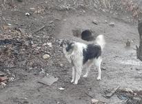 سگ خوب نگهبان در شیپور-عکس کوچک