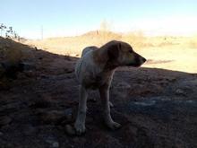 سگ افغان گمشده در شیپور