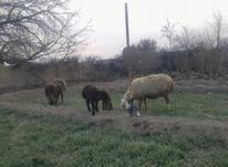 زمین کشاورزی با کشت جو بابت چراگاه گوسفند در شیپور-عکس کوچک
