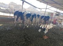 گاو شیکم 2اوستی از4ماه تا8ماه در شیپور-عکس کوچک