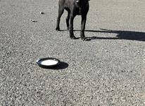 توله سگ شکاری پیونتر آلمانی، نر  در شیپور-عکس کوچک