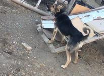 فروش سگ نر فوق العاده آدم گیر  در شیپور-عکس کوچک