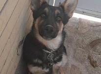 سگ ژرمن شپرد نر5ماهه در شیپور-عکس کوچک