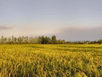 فروش زمین کشاورزی 3500 متر در جاده پیچاکلا در شیپور