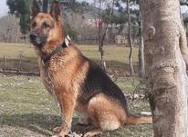 توله سگ ژرمن در شیپور-عکس کوچک