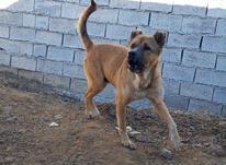 سگ عراقی و سرابی در شیپور-عکس کوچک