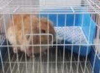خرگوش لوپ ماده تربیت شده در شیپور-عکس کوچک