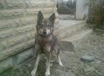 سگ ژرمن شپرد وشینلو  در شیپور-عکس کوچک
