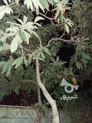 گل الکس سبز بزرگ یدونه ارغوان بزرگ و یاس زرد بزرگ و ... در گروه خرید و فروش لوازم خانگی در مازندران در شیپور-عکس2