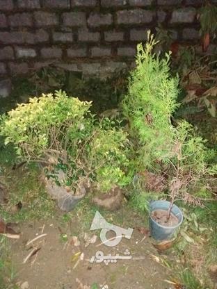 گل الکس سبز بزرگ یدونه ارغوان بزرگ و یاس زرد بزرگ و ... در گروه خرید و فروش لوازم خانگی در مازندران در شیپور-عکس6