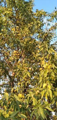 باغ انگور و بادام در گروه خرید و فروش املاک در قزوین در شیپور-عکس3