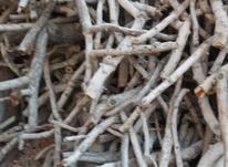 کنده قلمی بدون ریشه در شیپور-عکس کوچک
