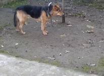 سگ ژرمن شپرد عالیه  در شیپور-عکس کوچک