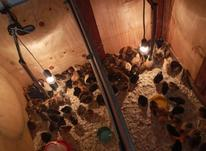 جوجه محلی مرغ در شیپور-عکس کوچک