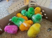 فروش کبوتر و جوجه رنگی  در شیپور-عکس کوچک