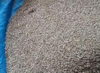 بذر هویچ در بستان اباد در شیپور-عکس کوچک