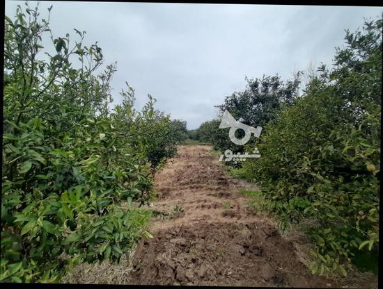 زمین باغی   1400متر  در گروه خرید و فروش املاک در مازندران در شیپور-عکس3