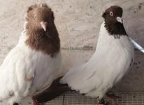 کبوتر پرستویی در شیپور-عکس کوچک
