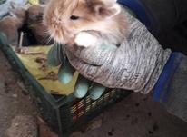 فروشی خرگوش لپ  در شیپور-عکس کوچک