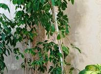 گل خانگی گل شِفلِر سبز زیبا و تنومند در شیپور-عکس کوچک