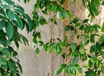 گل شفلر سر با قدی بیشتر از 1/5 متر سرسبز وبدون هیچگونه مریضی در شیپور-عکس کوچک
