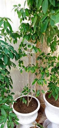 گل شفلر سر با قدی بیشتر از 1/5 متر سرسبز وبدون هیچگونه مریضی در گروه خرید و فروش لوازم خانگی در خراسان رضوی در شیپور-عکس1