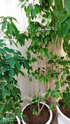 گل شفلر سر با قدی بیشتر از 1/5 متر سرسبز وبدون هیچگونه مریضی در گروه خرید و فروش لوازم خانگی در خراسان رضوی در شیپور-عکس2